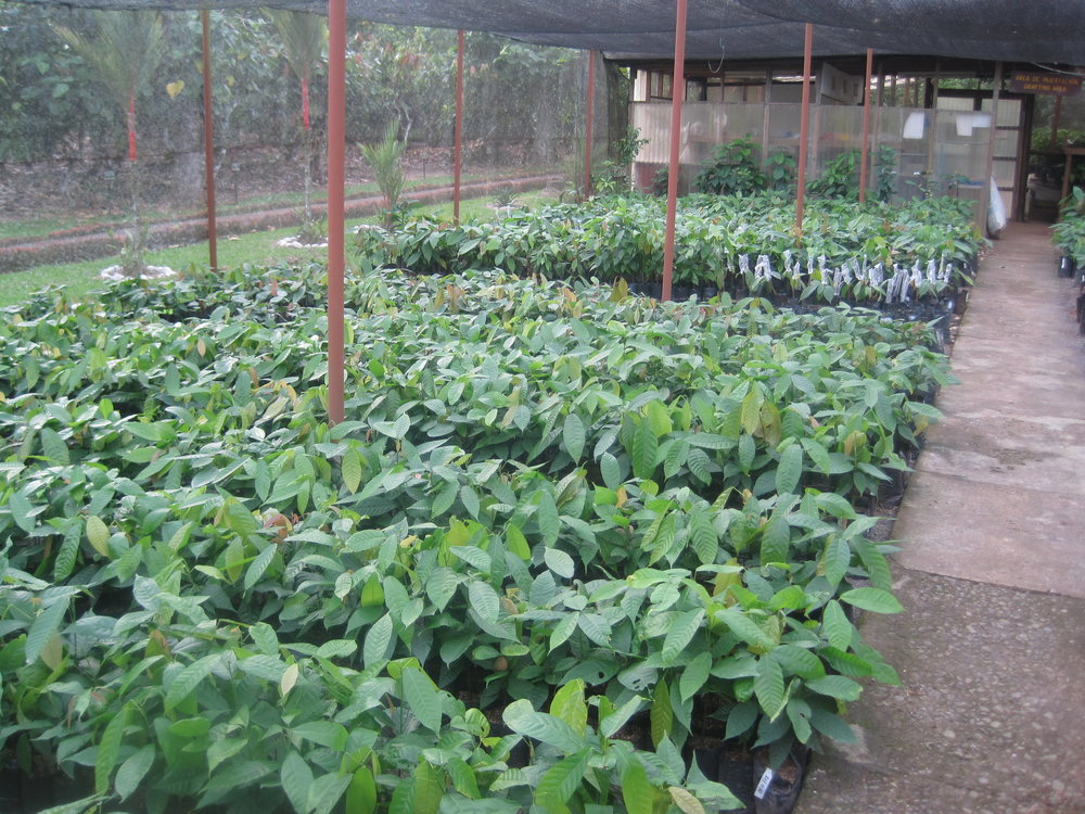 Cacao seedlings ready to plant