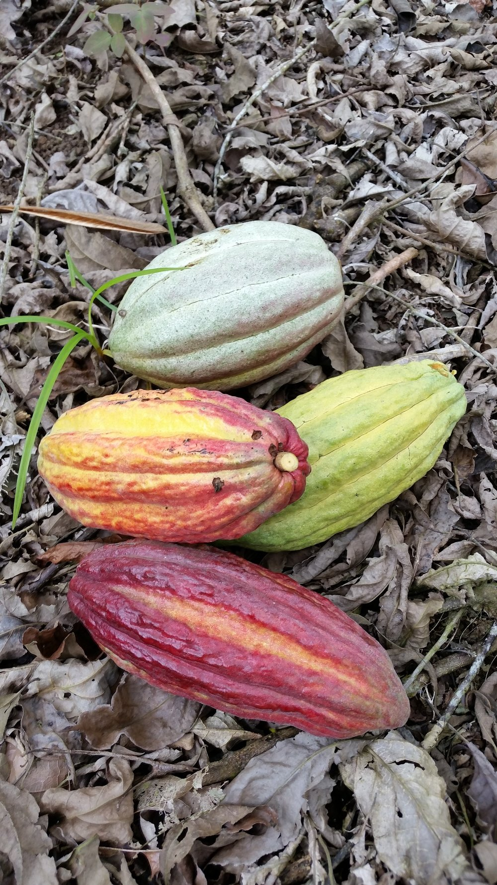 Cacao varieties
