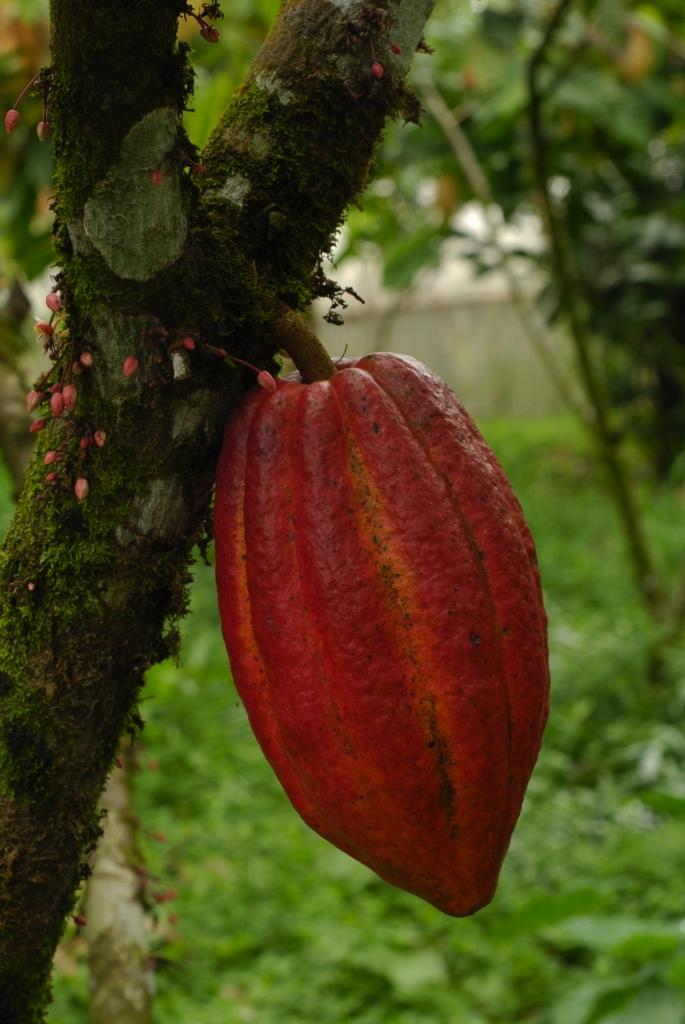Fruit of theobroma cacao
