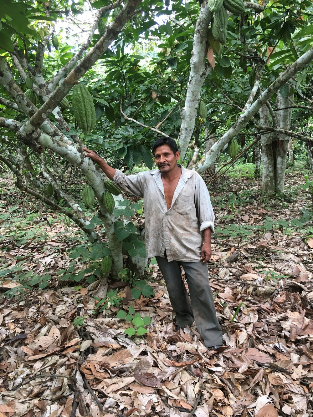 Inspecting the theobroma cacao trees