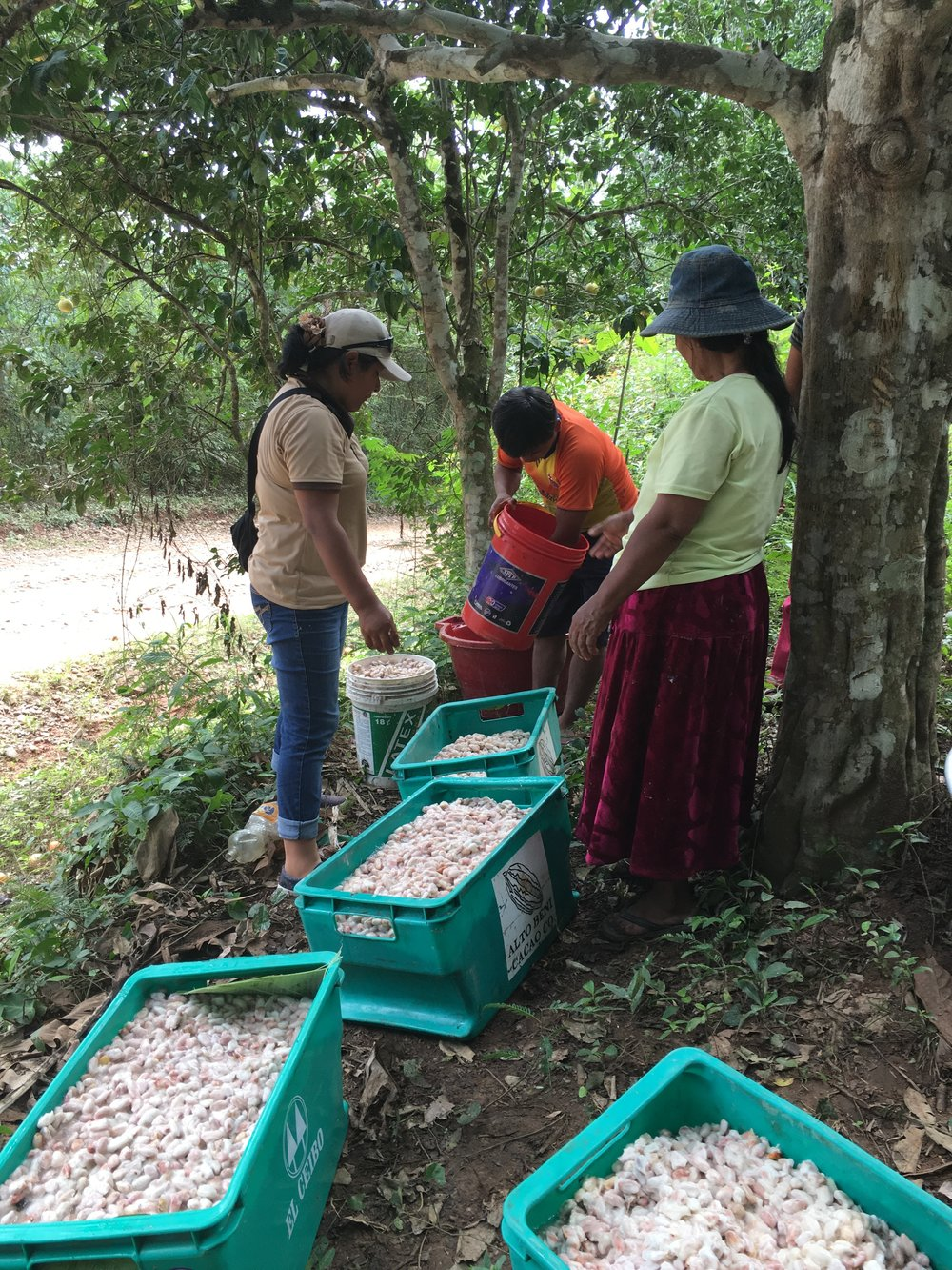 Harvesting the cacao