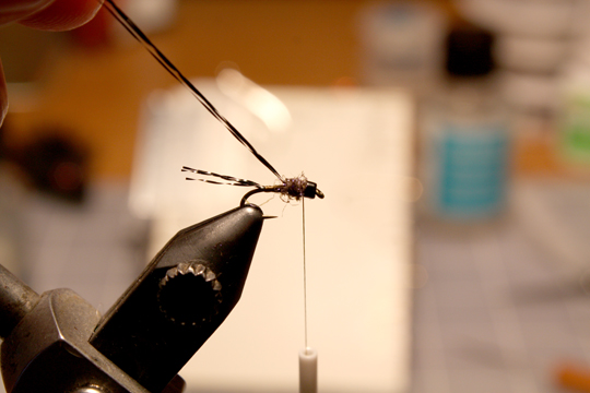 dub a thorax with some brown UV dubbing