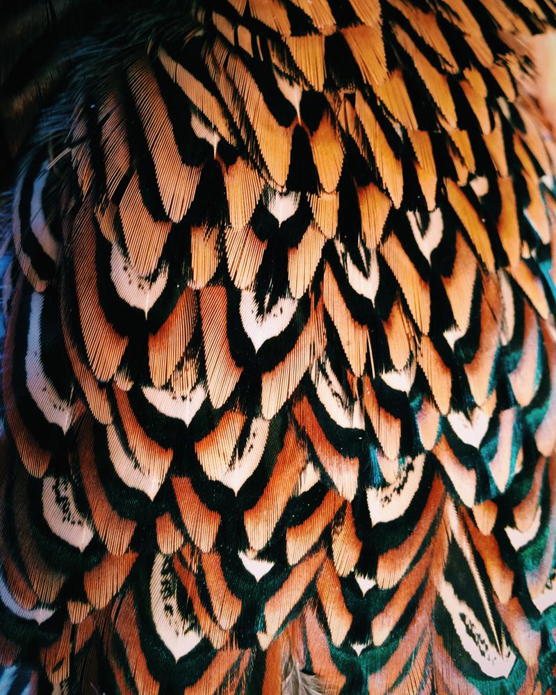 Pheasant_back.jpg