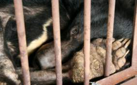 moon bear in cage.jpg