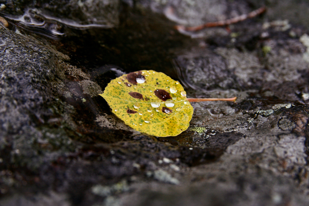 Aspen Leaf in Dew