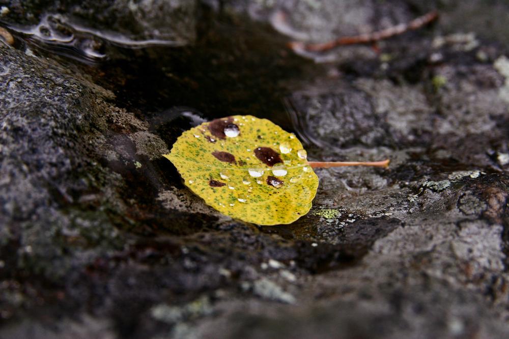 Aspen Leaf in Dew