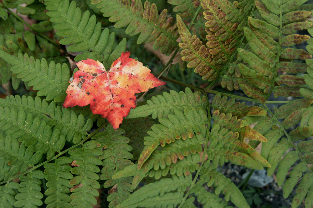 Leaf and Fern