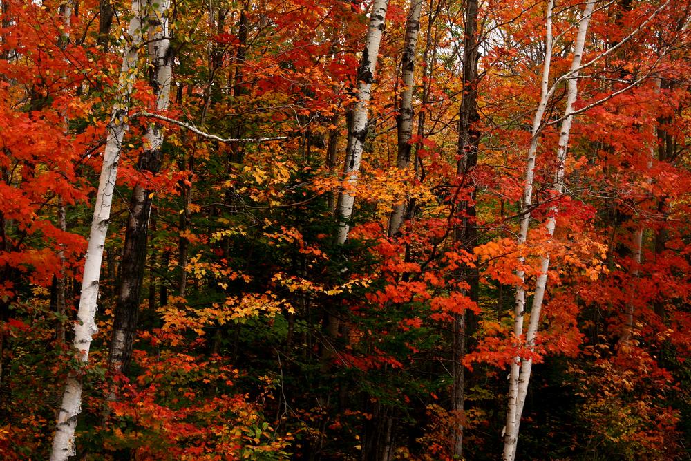 Kancamangus Birches