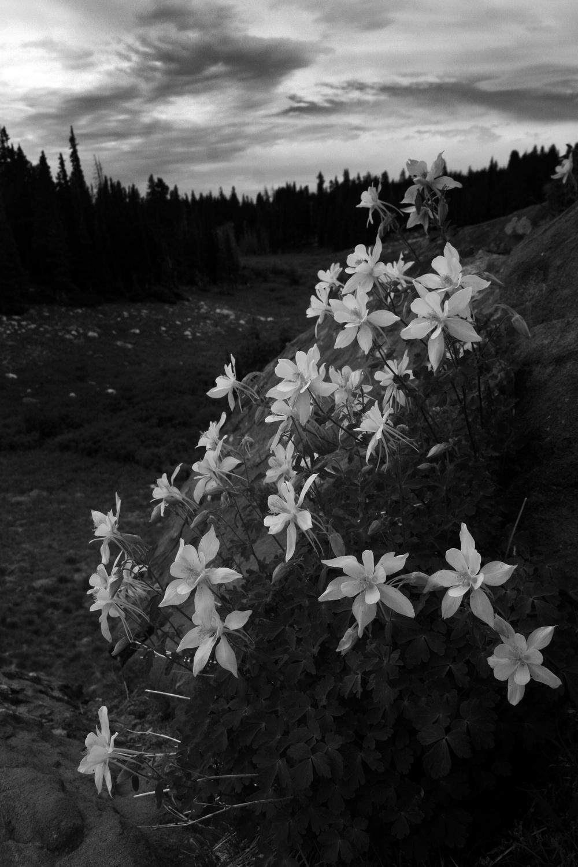 Columbines, Snowy Range