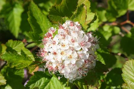 Ninebark ( Physocarpus opulifolius )