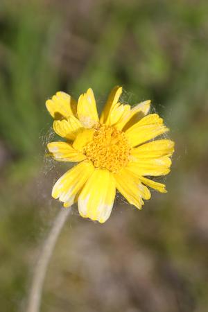 Lakeside Daisy ( Hymenoxis herbacea )