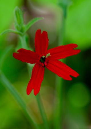 Fire pink ( Silene virginica )