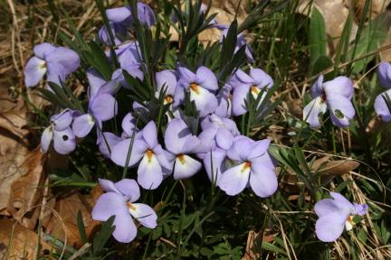 Bird's Foot Violet,  Viola pedata