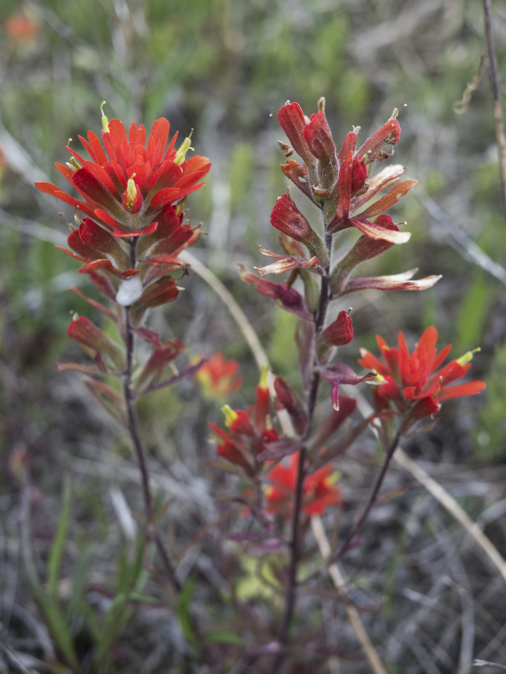 Indian Paintbrush - Castilleja coccinea (From a past foray)