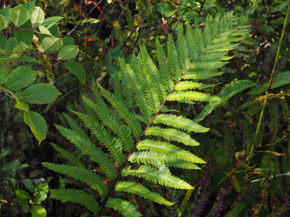 Woodwardia virginica, West Lake Bog