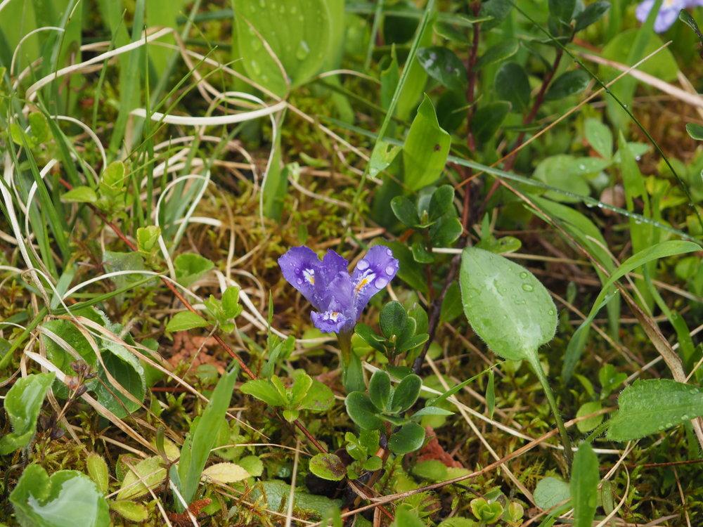 Iris lacustris (dwarf lake iris)