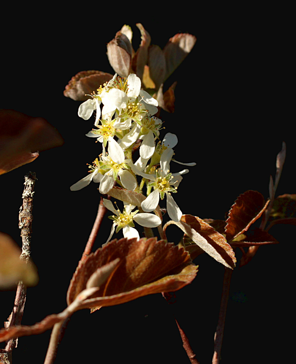 Amelanchier laevis (Smooth shadbush)