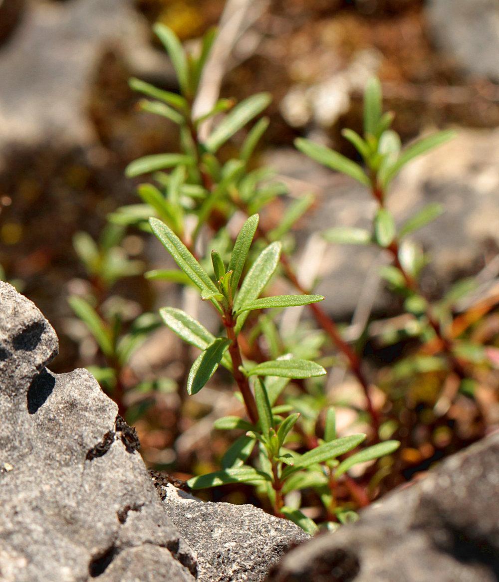 Clinopodium arkansanum aka Calamintha arkansana Limestone Calamint