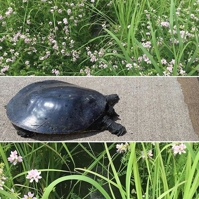 We found a somewhat rare softshell turtle out in the course this afternoon! Seems like a nice day to go for a stroll in the flowers.