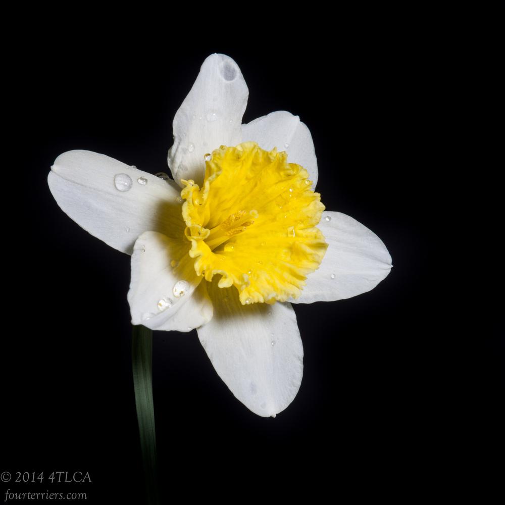 Daffodil, 2014