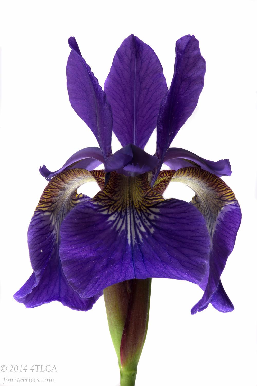 Purple Iris 2, 2014