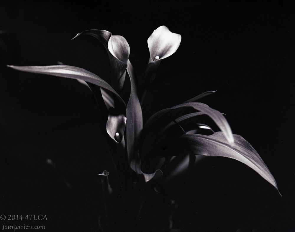 Callas in Black and White