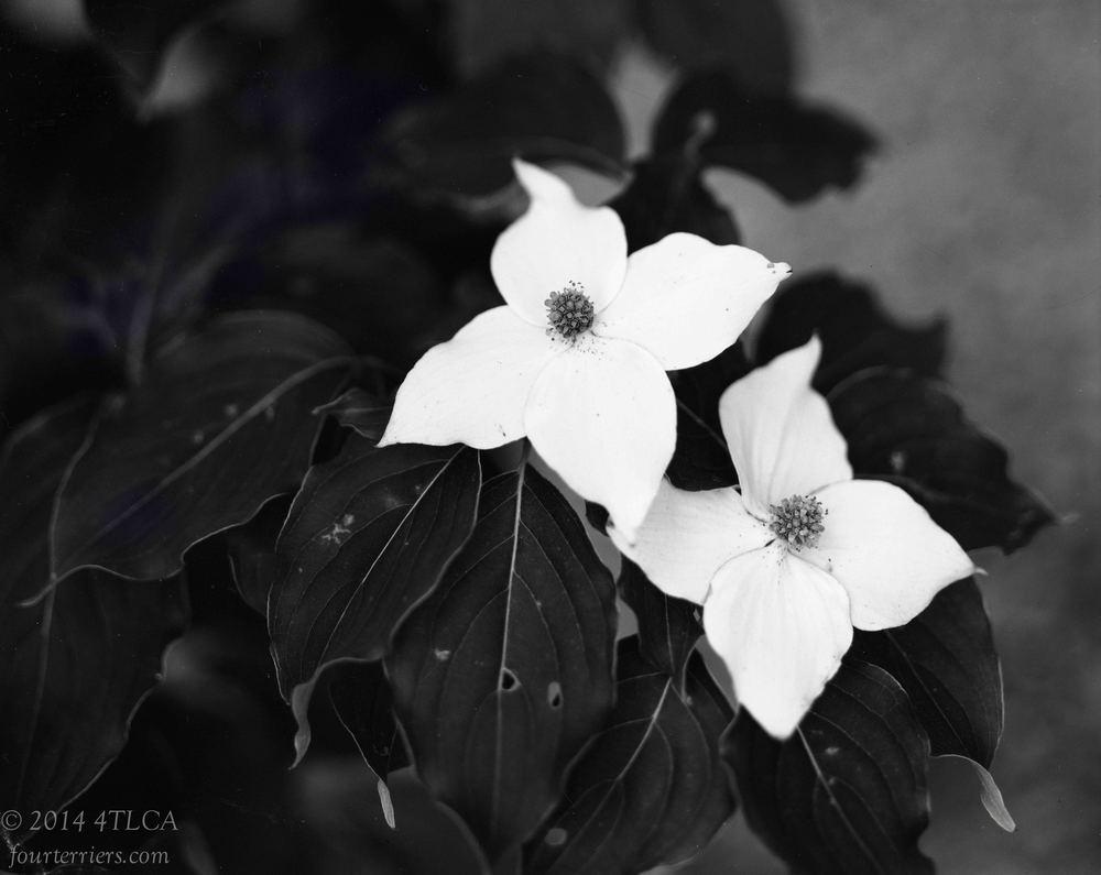 Kousa Dogwood Blooms
