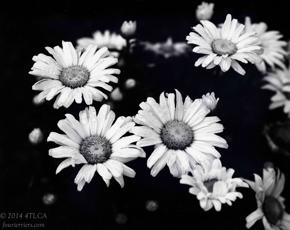 Daisies in Monochrome