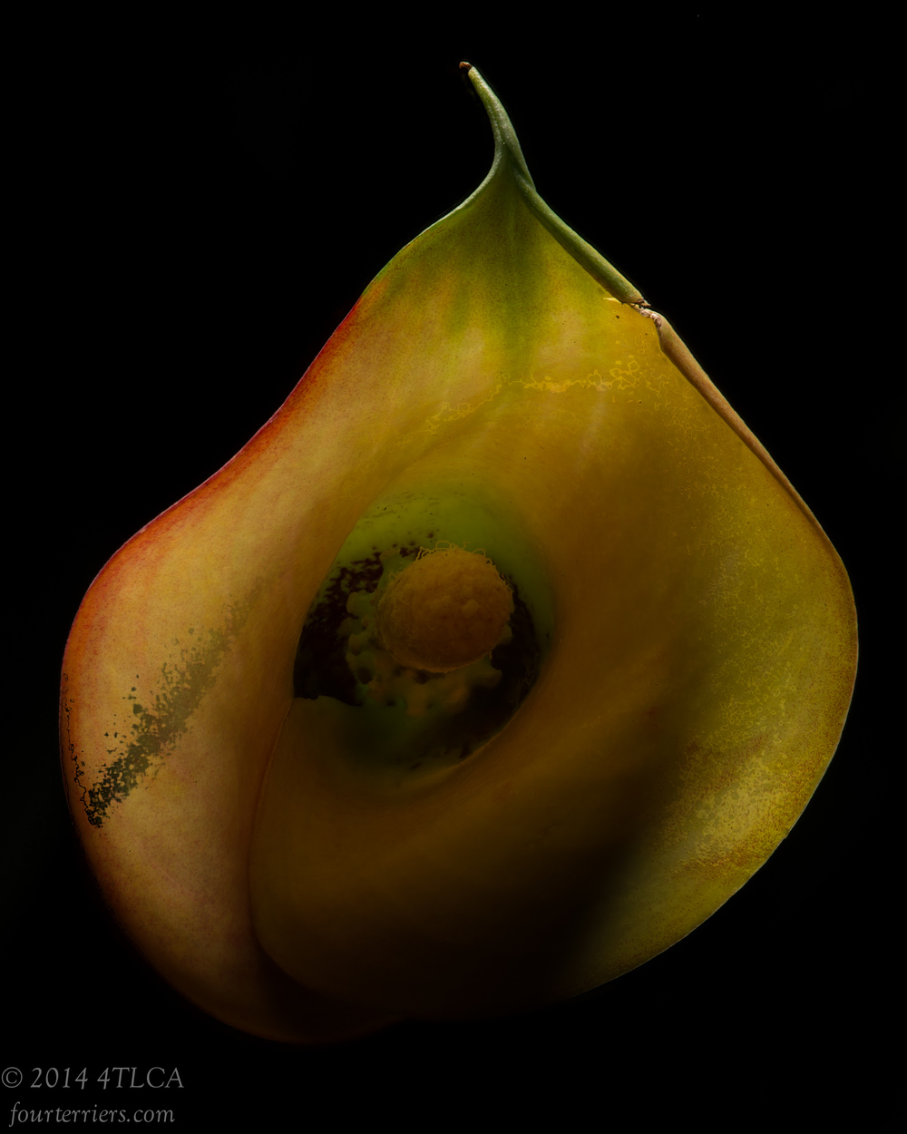 Calla Bloom