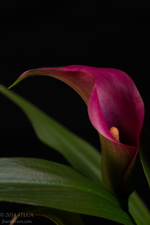 Pink Calla II