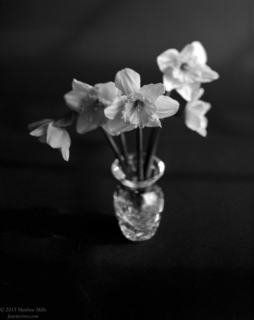 Daffodils 2015-1