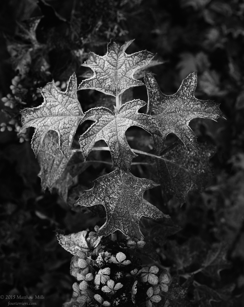 Oak Leaf Hydrangea in Frost, Fall 2015