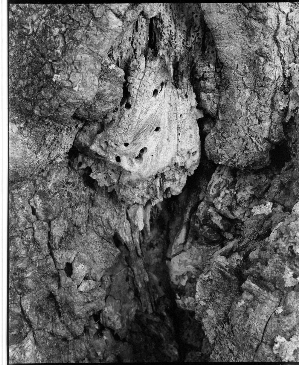 Diseased Dogwood