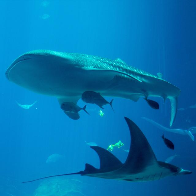whale-shark-georgia-aquarium-0915.JPG