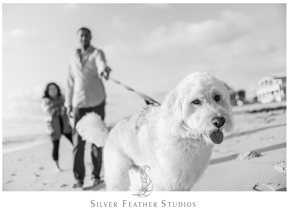 A labradoodle named Lincoln at the Outer Banks. Photographed by Burlington wedding  photographer, Silver Feather Studios.