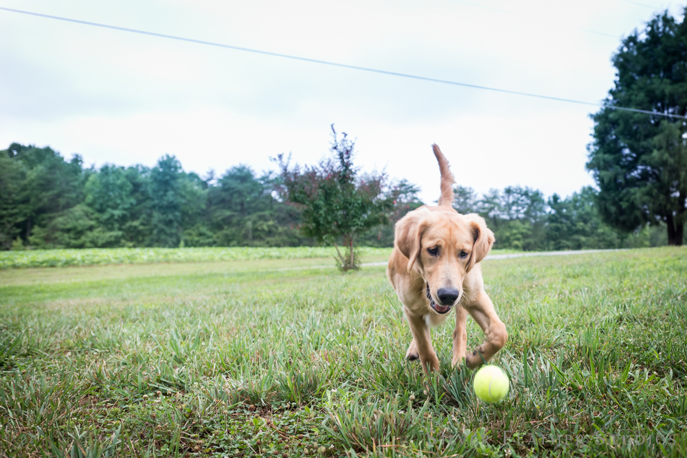 playing catch with furbabies | jordan + heather © silver feather studios | lifestyle photographer in burlington