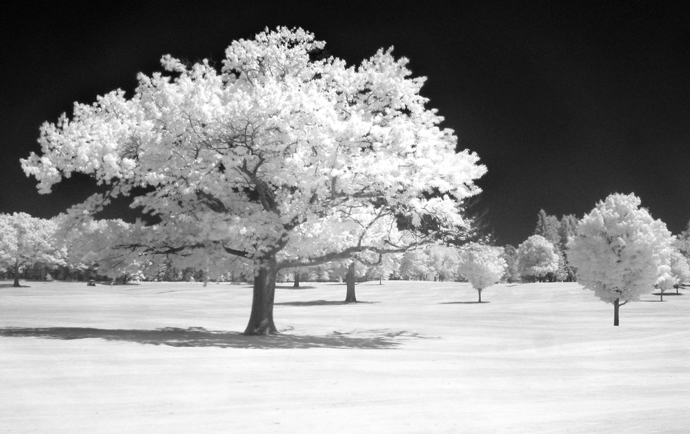Red Oak on the Golf Course
