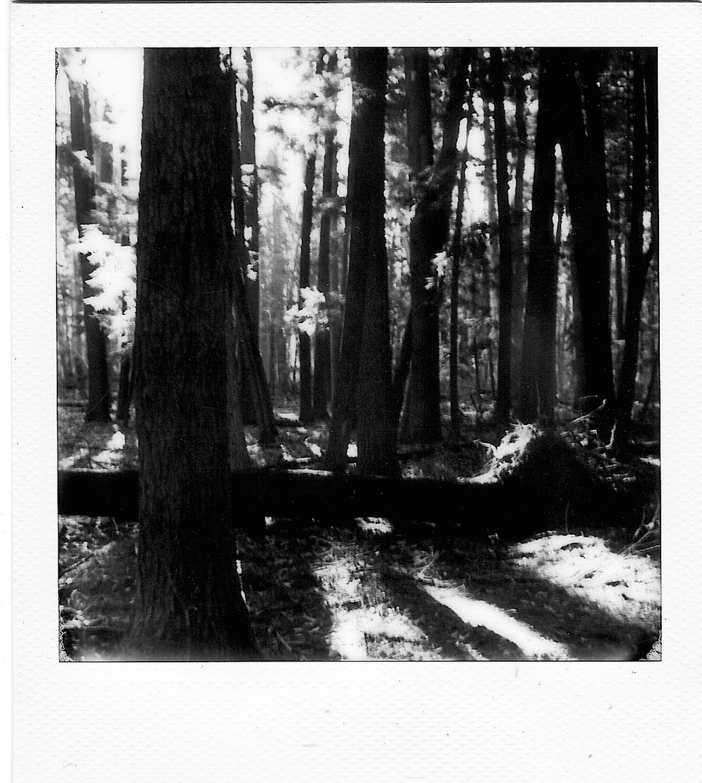 Hartwick Pines with a Polaroid