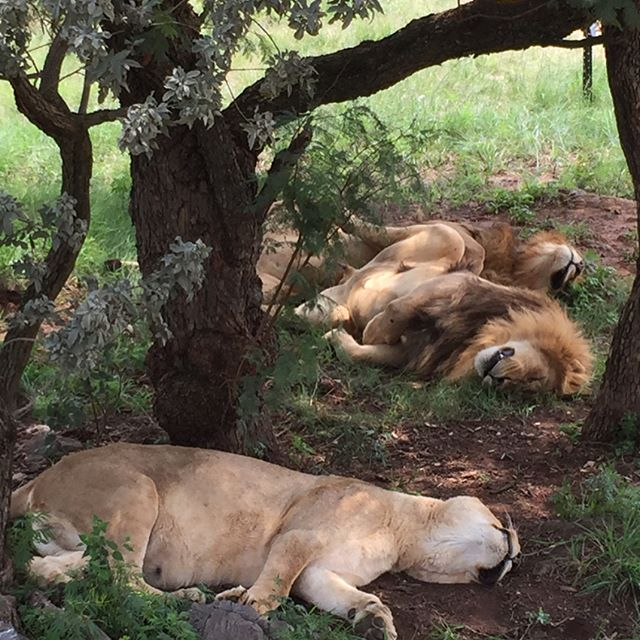 Wonderful wildlife experience visiting @lionandsafaripark near #hartebeespoort Dam cc @fotawildlife  #custexp
