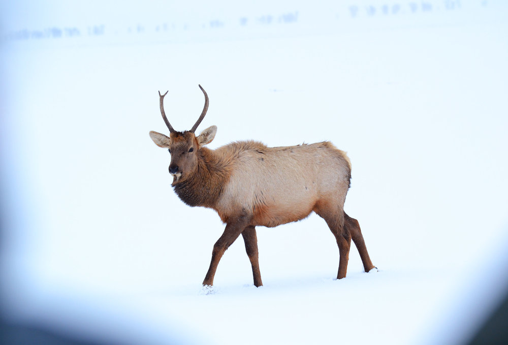 One of several hundred elk on the National Elk Refuge in Jackson, Wyoming.