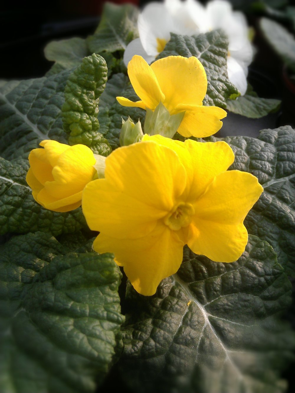 Primula now available.                       90p or £10 tray of 15