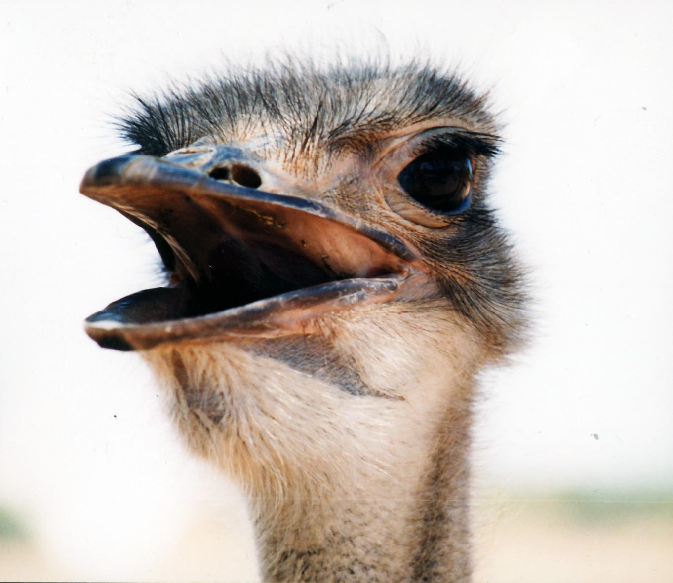 El avestruz no esconde la cabeza, como pensamos. Foto: Stefan Vogt.