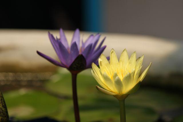 Waterlillies.jpg