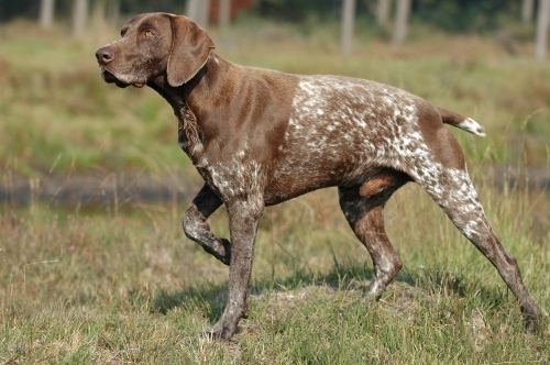 The German Shorthaired Pointer. Get it? Pointer? Get it?  I'll see myself out. By Bonnie van den Born, http://www.bonfoto.nl - Transferred from nl.wikipedia to Commons., CC BY-SA 3.0, https://commons.wikimedia.org/w/index.php?curid=1745399