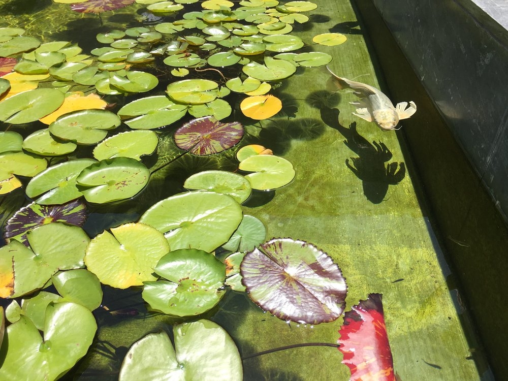 Photo by Elecia White at the Getty Villa   The  koi  carp is thought to be a symbol of luck, prosperity, and good fortune in Japan. May your new lead/boss/manager bring you the same.