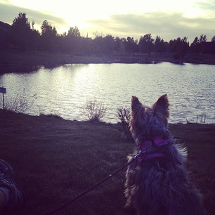 Layla enjoying the view on one of our many evening walks.