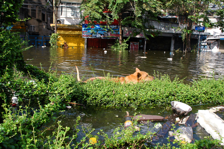 A dog goes for a swim in a flooded neighborhood in western Bangkok.
