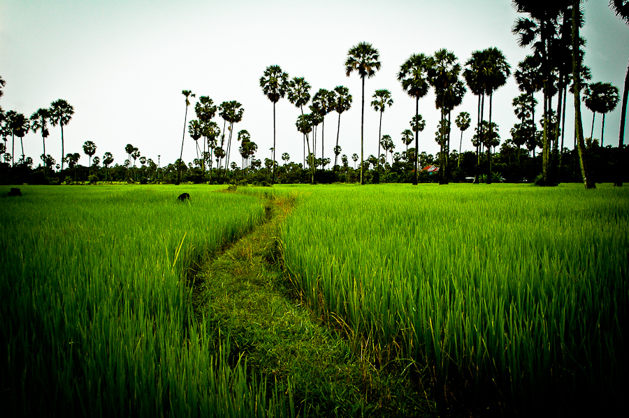 A rice field in central Cambodia.