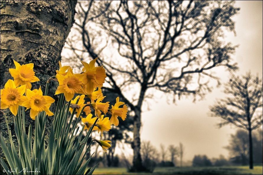 D affodils by Neil Alexander (Click for larger)