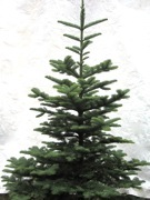Nobile Fir
